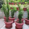 红豆杉产品展示