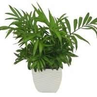 中型植物袖珍椰子