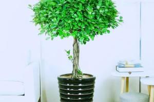 金钱榕树产品展示