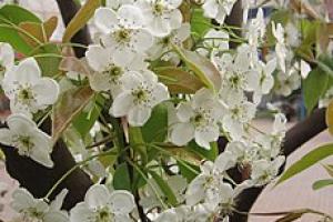 梨花图谱百科