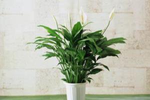 租摆绿植花卉之白掌烂根如何解决