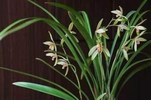 花卉养护之墨兰的养护方法与注意事项