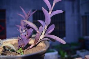 植物养护之紫竹梅的养护方法
