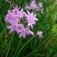 紫娇花百科
