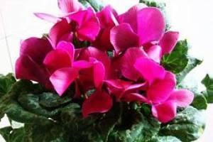 花卉租摆养护之仙客来的冬季养护