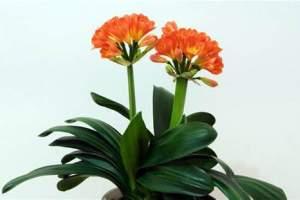 花卉租摆公司分享冬至后君子兰的养护方式
