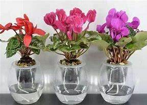 花卉租摆公司教你快速水培长寿花