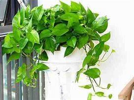 绿植租摆之几种常见植物的生长习性